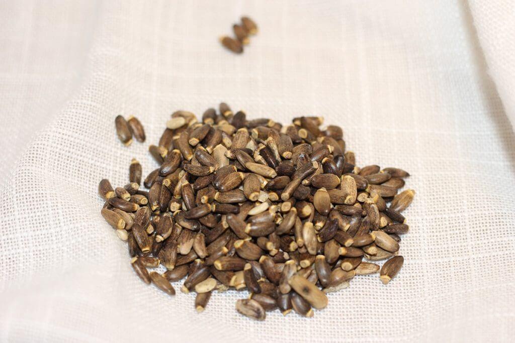 olej z ostropestu plamistego jak wygladają nasiona