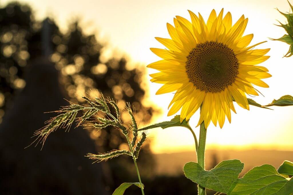 olej słonecznikowy właściwości