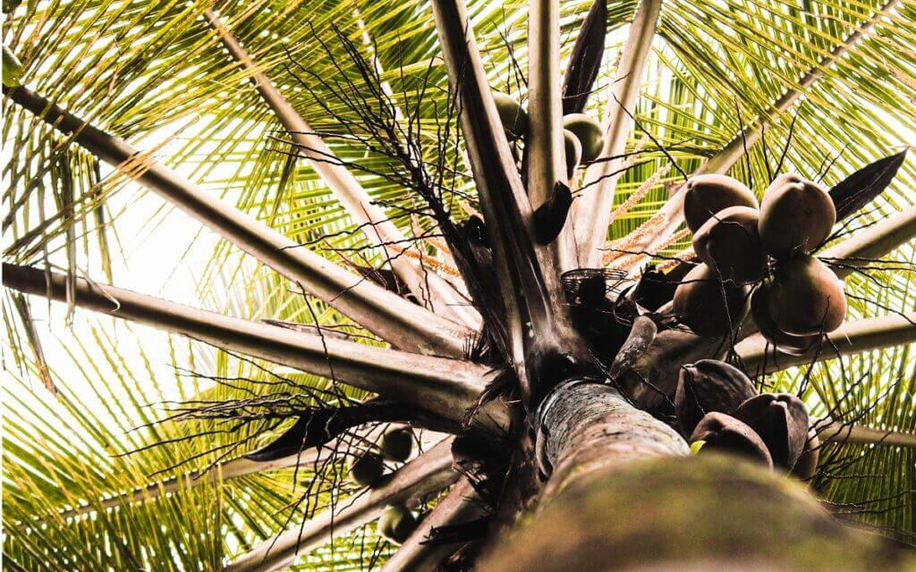 olej kokosowy właściwości zdrowotne